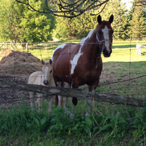 16yr old Registered Paint Mare