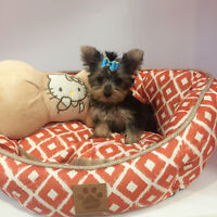 Teacup teacup/very tiny Yokie puppy for sale~one boy only