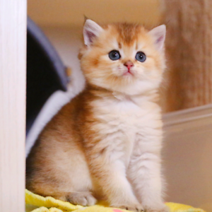 Looking for silver shaded or golden british shorthair kitten