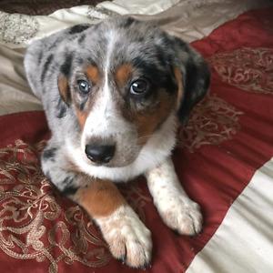 Australian Shepherd lab puppy