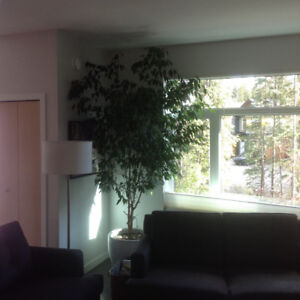 Large healthy  6 ft tall fiscus  tree for sale