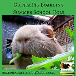 Exclusive Guinea Pig Boarding at Guinea Pig Medicine WA Booragoon Melville Area Preview
