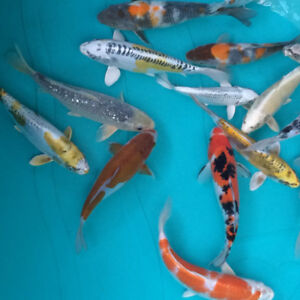 Koi for Sale and available for  shipping