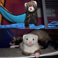 URGENT two baby ferrets need home ASAP