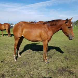 AQHA 3 year old filly