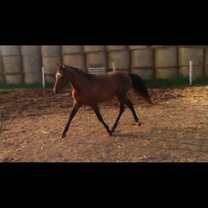 Yearling Welsh Pony