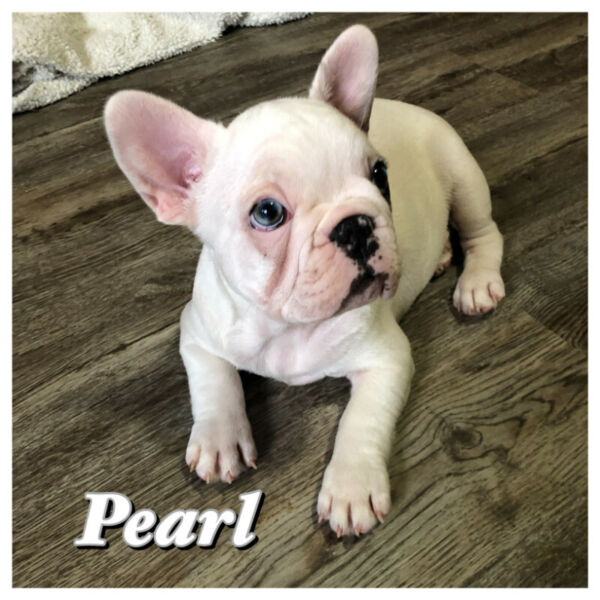 FRENCH BULLDOG PUPPIES *** Prices Listed Below!! | Dogs ...