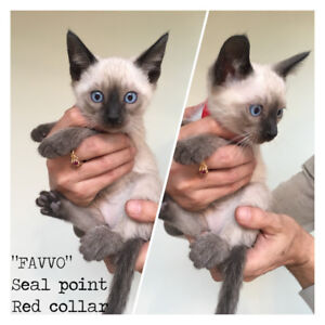 Seal and Blue point Traditional Siamese kittens