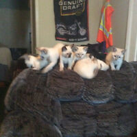 Healthy Playfull Siamese kittens available