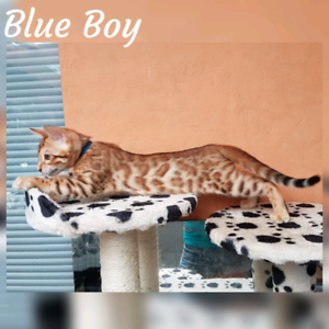 Wild looking Bengal kittens with sweetest temperament