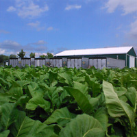 Tobacco Farm worker