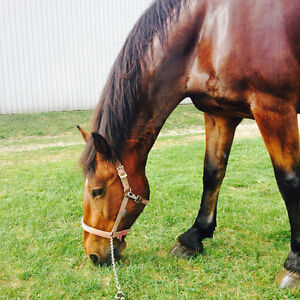 Lovely Clyde x Thoroughbred for Part-Lease in London London Ontario image 2