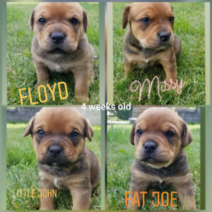 Bullweiler Puppies Ready For Forever Homes