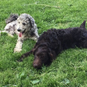 Variety Of F1B Labradoodle Puppies READY TO GO
