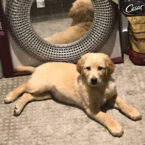 Super cute golden retriever puppy looking for her forever home!