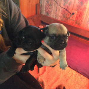 Pug Puppies - All Sold