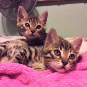 Male and female baby bengals available