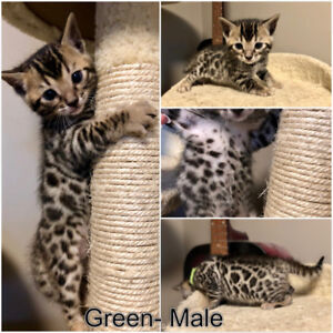 Gorgeous Rosetted Bengal Kittens