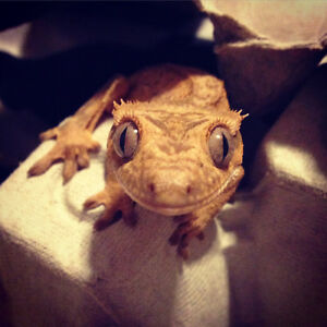 Crested gecko London Ontario image 2