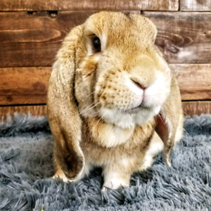 Moose the Holland Lop