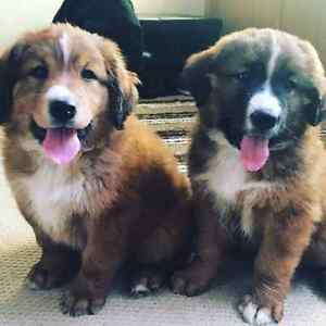 2 adorable Australian Shepard mix golden retriever puppys