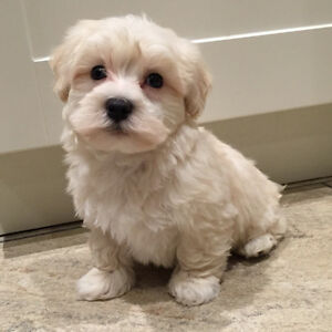 Maltipoo Puppies - 1 boy available!!