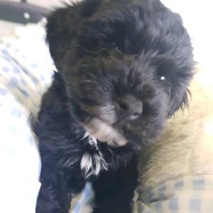 CAVOODLE PUPPIES AVAILABLE THIS WEEKEND