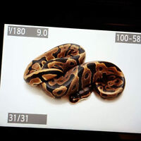 Selling leopard Ball python