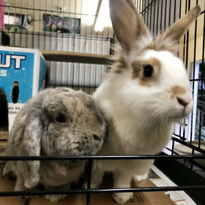 Friendly and Litter Trained Bunnies for Adoption