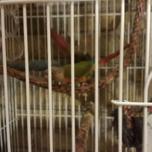 Pinapple conures asking 450.00 or B/O