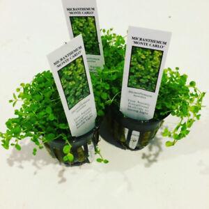 Live Anubias Plants 20% Off @ Aquascaperoom