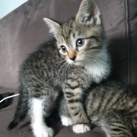 Beautiful tabby and black kittens for sale