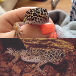 Leopard Geckos - to experienced home only