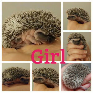 Hedgehog baby last one