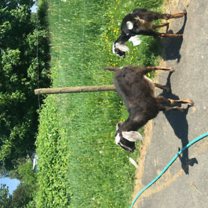 Three goats for sale