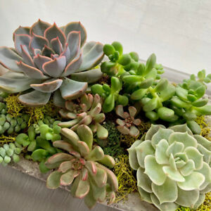 LARGE Healthy Rare Succulents Stone Garden - Plants Make People