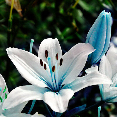 Fiore del Giglio blu cuore 50pcs semi semi di profumo Lilium pianta vaso Bonsai