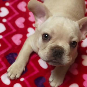 French Bulldog Puppies ready to go !