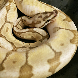 Male Queen Bee Ball Python