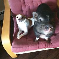 micro cochon Très Petit à vendre