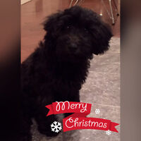 Poodle Cross, male **Price reduced for quick sale**