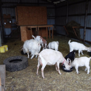 Young male goats - Edson area