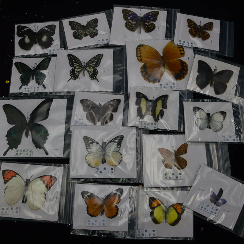 1Pcs Natural Unmounted Butterfly Specimen Artwork Material Decor &