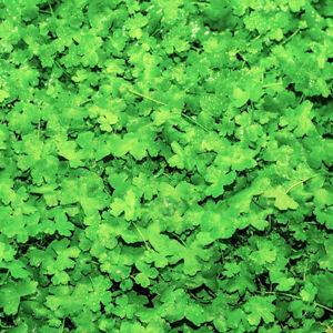 LIVE AQUARIUM PLANT : HYDROCOTYLE TRIPARTITA