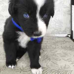 Beautiful blue eyes Border collie German Shepard x