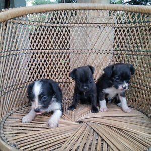 Boston/Poodle puppy for sale