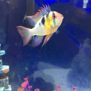 Electric Blue Ram for Rehome ASAP