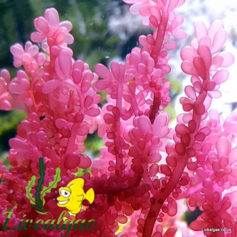 Red Grape Macro Algae for Marine Tank, Seahorse Aquarium & Reef Tank. Beautiful as Coral Frags
