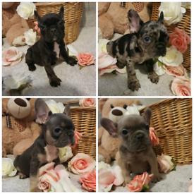 4 Adorable french bulldog puppies