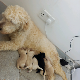 Goldendoddle puppies F1B ONLY 4 LEFT